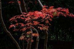 Ветвь дерева японского клена осени стоковое изображение