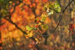 Ветвь дуба в солнце апельсина позднего вечера Стоковое Изображение