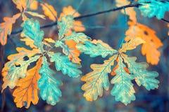 Ветвь дуба с красочными листьями стоковые изображения