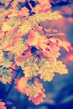 Ветвь дуба с красочными листьями стоковые фото