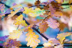 Ветвь дуба с красочными листьями стоковое фото