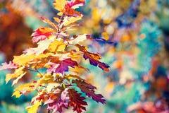 Ветвь дуба с красочными листьями стоковое изображение