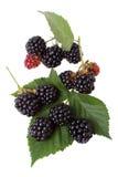 ветвь ежевики ягод Стоковые Изображения