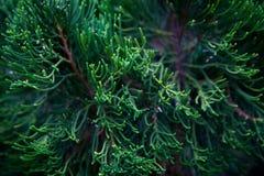Ветвь декоративной предпосылки темноты кипариса иглы Стоковое Фото
