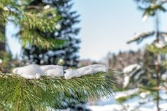 Ветвь елевого дерева с белым снегом Дерево зимы елевое в заморозке Стоковое Фото