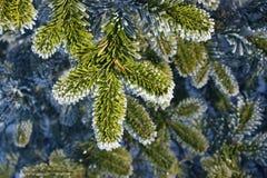 Ветвь ели в заморозке. Стоковые Фото