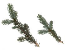 Ветвь ели на белой предпосылке зеленая хворостина ели Стоковые Фото