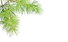 Ветвь ели рождества Стоковые Фото