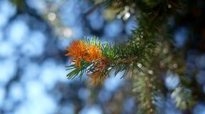 Ветвь ели с красной подсказкой Стоковая Фотография