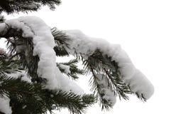 Ветвь ели Стоковое Изображение