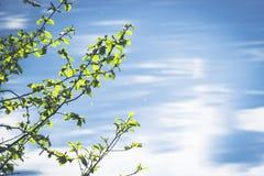 Ветвь дерева березы с зеленым цветом выходит на предпосылку голубой чистой воды Стоковая Фотография RF