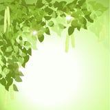 Ветвь дерева березы с листьями иллюстрация штока