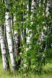 Ветвь дерева березы Стоковое фото RF