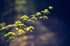 Ветвь дерева весеннего времени с первыми листьями зеленого цвета Стоковые Фотографии RF