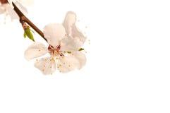 Ветвь дерева вишневого цвета, розовый цветок стоковое изображение rf