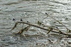 Ветвь дерева в реке с dragonflys Стоковые Фото