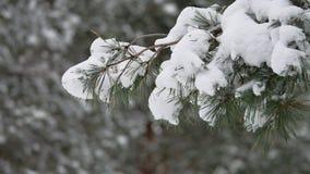 Ветвь дерева в снеге в ландшафте природы леса зимы рождества ветра отбрасывая Стоковое Изображение RF