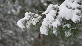 Ветвь дерева в снеге в ландшафте природы леса зимы рождества ветра отбрасывая Стоковые Фото