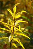 Ветвь дерева гранатового дерева в осени Стоковые Фото