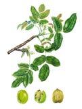 Ветвь дерева грецкого ореха Стоковые Фото