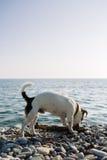 Ветвь дерева грызть собаки на каменистом побережье Стоковая Фотография