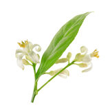 Ветвь дерева лимона при цветки изолированные на белой предпосылке Стоковое Фото