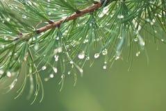 Ветвь дерева лиственницы Стоковое Фото