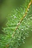 Ветвь дерева лиственницы Стоковая Фотография