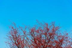 Ветвь дерева и красные лист с голубым небом Стоковые Изображения RF
