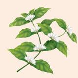 Ветвь дерева кофе значка с цветками бесплатная иллюстрация