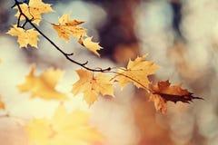 Ветвь дерева клена с листьями осени Стоковые Фото