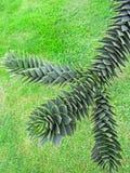 Ветвь дерева обезьяны Стоковые Фотографии RF