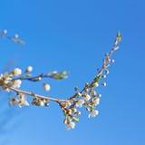 Ветвь дерева птиц-вишни цветения Стоковые Изображения RF