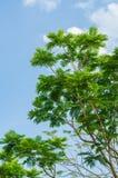 Ветвь дерева пламени против на голубого неба Стоковая Фотография