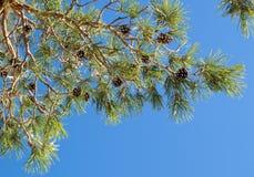 Ветвь дерева сосенки Стоковая Фотография RF