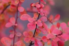Ветвь дерева с листьями осени крупный план предпосылки осени красит красный цвет листьев плюща померанцовый Красные листья осени  Стоковые Изображения