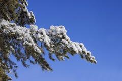 Ветвь дерева с снегом Стоковые Изображения RF