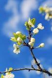 Ветвь дерева с цветками против неба Стоковая Фотография