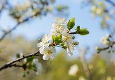 Ветвь дерева с цветками против неба Стоковое Изображение