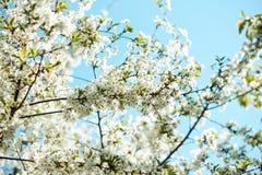 Ветвь дерева цветения вишня цветет весной Стоковое фото RF