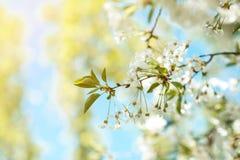 Ветвь дерева цветения вишня цветет весной Стоковое Фото