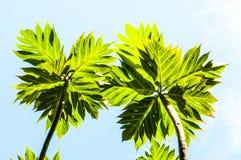Ветвь 2 деревьев хлебных деревьев Стоковое фото RF