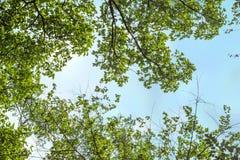 Ветвь лета с свежими зелеными листьями Позеленейте энергию Стоковые Фото