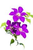 Ветвь детенышей фиолетового clematis стоковые фото