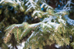 Ветвь ели в снежке Стоковая Фотография RF