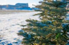 Ветвь ели в снежке Стоковое фото RF