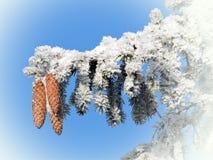 Ветвь ели, зима Стоковые Фото