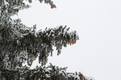 Ветвь ели на изолированном снеге Стоковое Изображение RF