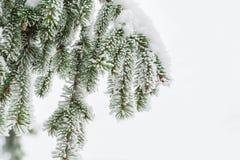 Ветвь ели на изолированном снеге Стоковая Фотография RF
