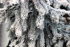 Ветвь ели на снежке Стоковые Изображения RF